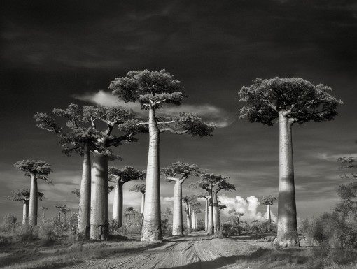 Beth Moon – Avenue of the Baobabs