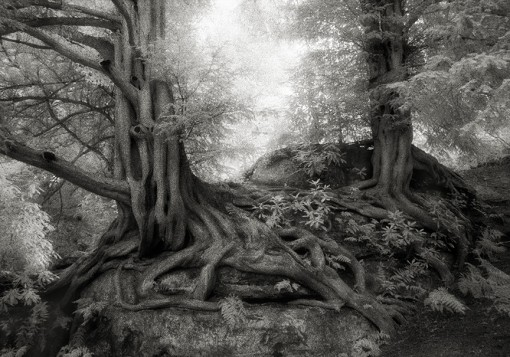 Beth Moon – The Yews of Wakehurst